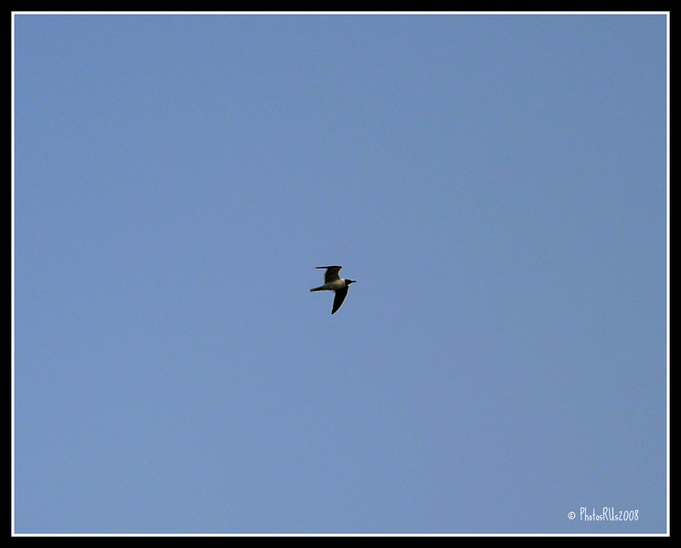 Laughing Gull.....CLEARWATER FLORIDA....MAY 10 2011