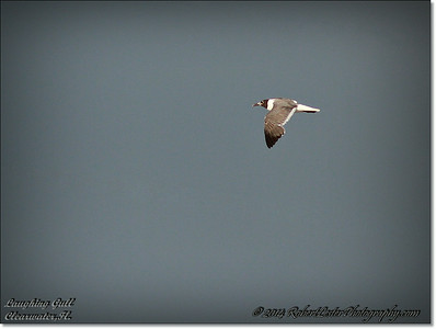 2014-07-25_IMG_0790__Laughing gull