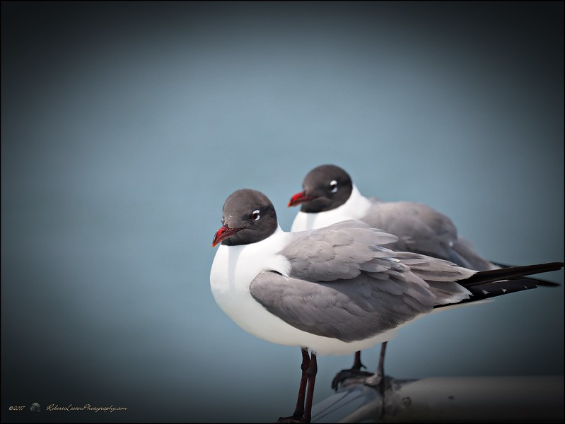 2017-04-28_P4280270_Laughing Gull,Gulfport,Fl