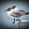 2017-04-28_P4280271_Laughing Gull,Gulfport,Fl