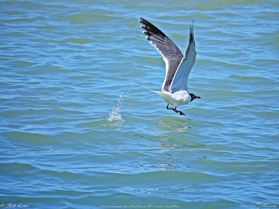 _2_laughing gull,_0223