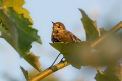 Leaf Warblers