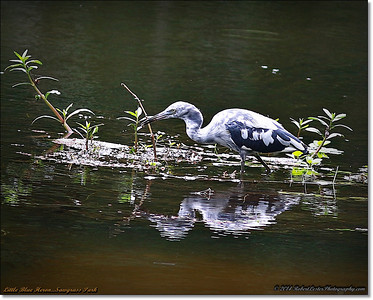 2014-06-12_IMG_1662_Little Blue Heron   Sawgrass Park,St Pete,Fl _
