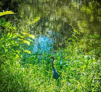2019-08-25_1600hrs m1 40x150 ap meterspot  Sawgrass Lake Park,St Pete,Fl __8250045