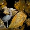 2015-12-12_PC122430_Little Blue Heron,Clearwater,Fl