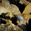 2015-12-12_PC122436_Little Blue Heron,Clearwater,Fl