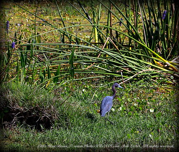 Little Blue Heron...© www.PhotosRUs2008.com...Bob Lester...All rights reserved.