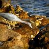 2015-12-12_PC122434_Little Blue Heron,Clearwater,Fl