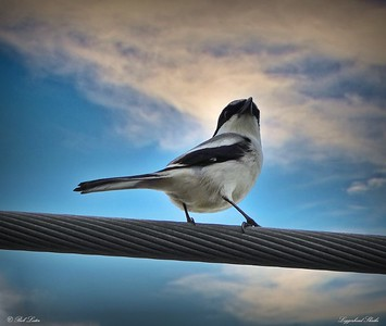 rx10_007_loggerhead shrike