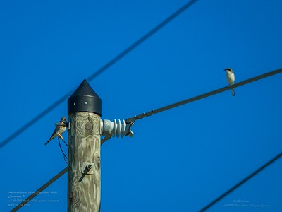 _B220005_ kestrel,Loggerhead Shrike_