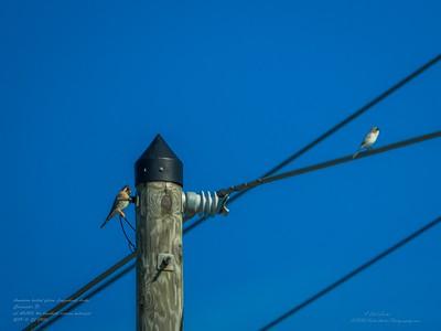_B220002_ kestrel,Loggerhead Shrike_