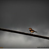 2014-06-10_IMG_1537_Loggerhead Shrike_