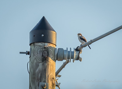 2018-09-15_P9150075_Loggerhead Shrike (Lanius Ludovicianus)