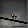 2014-06-10_IMG_1533_Loggerhead Shrike_