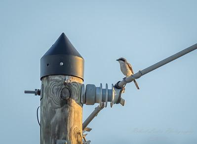2018-09-15_P9150082_Loggerhead Shrike (Lanius Ludovicianus)
