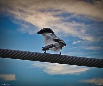 rx10_004_loggerhead shrike
