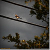 2014-06-10_IMG_1511_Loggerhead Shrike_