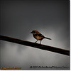 2014-06-10_IMG_1565_Loggerhead Shrike_