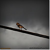 2014-06-10_IMG_1544_Loggerhead Shrike_