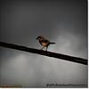 2014-06-10_IMG_1569_Loggerhead Shrike_