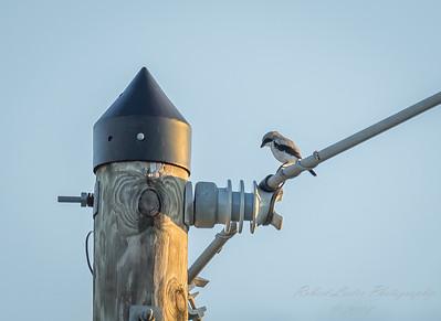 2018-09-15_P9150074_Loggerhead Shrike (Lanius Ludovicianus)