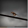 2014-06-10_IMG_1534_Loggerhead Shrike_