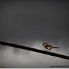 2014-06-10_IMG_1543_Loggerhead Shrike_