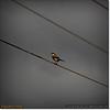 2014-06-10_IMG_1514_Loggerhead Shrike_