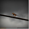 2014-06-10_IMG_1535_Loggerhead Shrike_