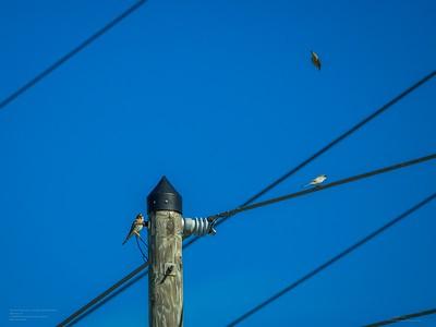 _B220001_ kestrel,woodpecker,Loggerhead Shrike_