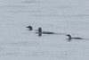 2 Pacific Loon and 1 Common Loon