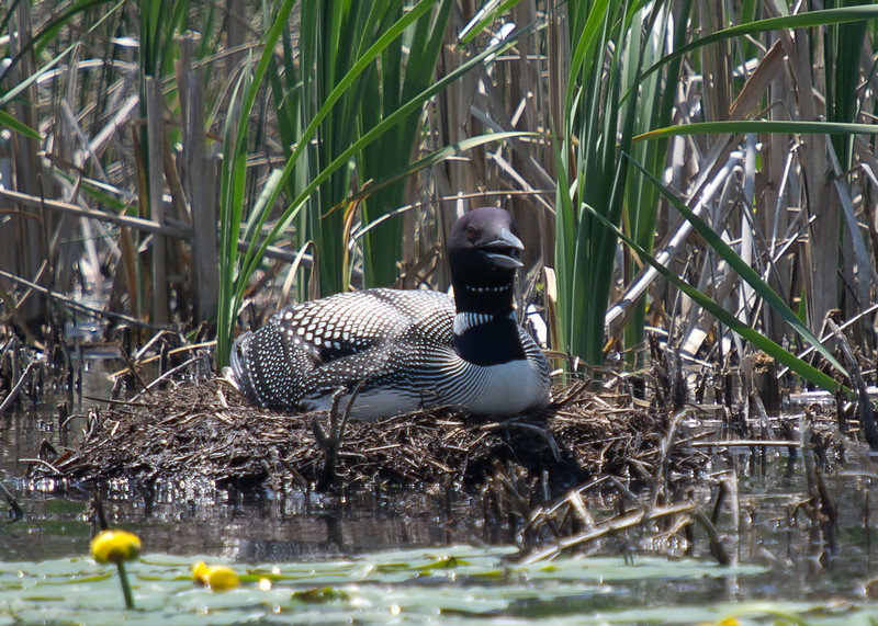 This loon is panting, similar to a dog, to cool itself on a day which hit the mid 90's while sitting on its nest with an egg.