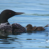 Baby's First Foot Waggle-this loon chick is doing the classic loon foot waggle even at an early age.
