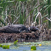 This loon is laying low while on its nest with an egg, which later failed to hatch.