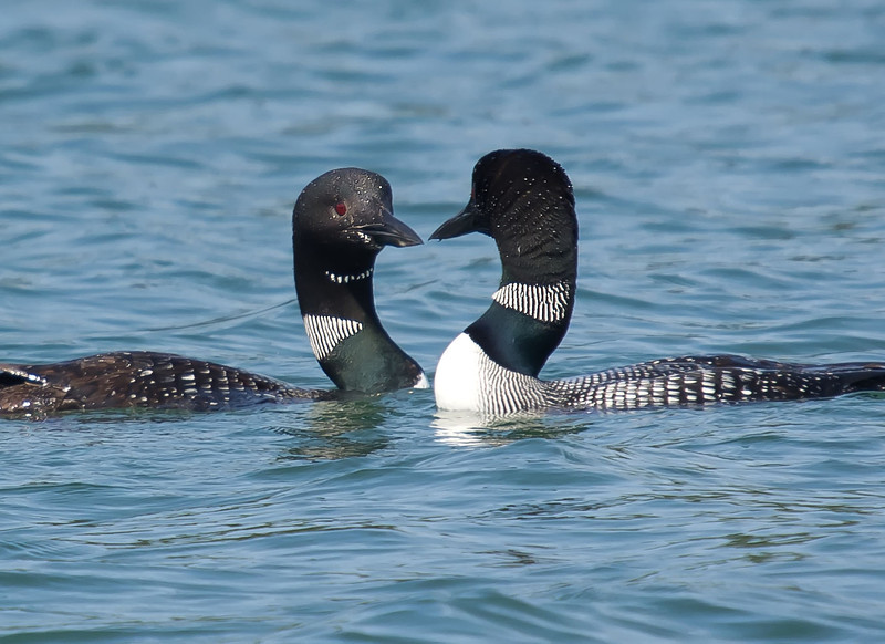 Water Ballet-The loons had not been able to hatch their egg earlier in the summer  and weeks later were performing a beautiful dance in the water by mimicking each others' moves as they went in circles in and under the water.