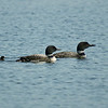 These loon chicks on Lake Ann are less than a week old and off the nest - July 2013