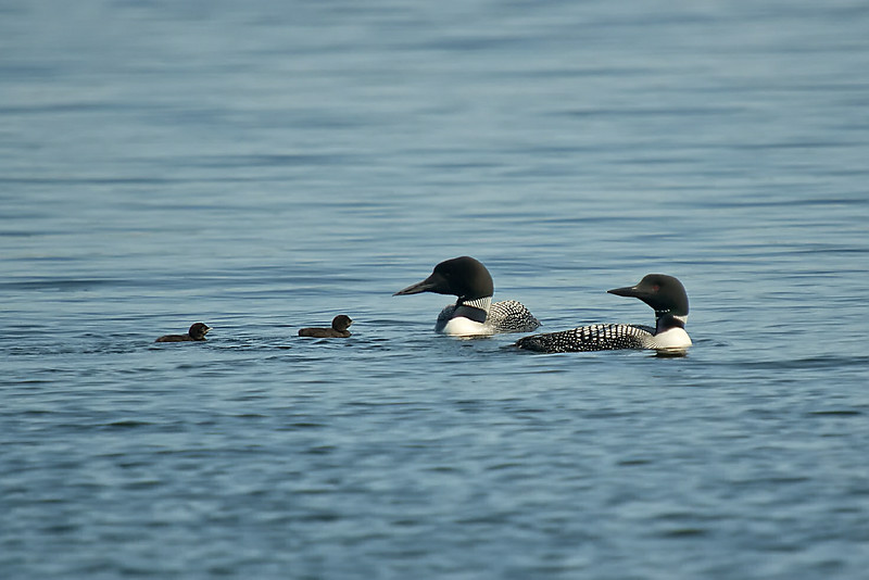 The loon family of Lake Ann shortly after their first pilgrimage off the nest - July 2013