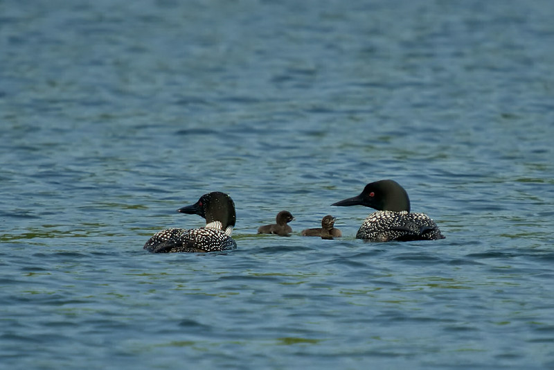 The loons and chicks on Lake Ann about a day after they were off the nest -July 2013