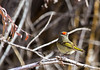 Ruby-crowned Kinglet - Adult Male