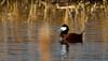 Ruddy Duck - Adult Male