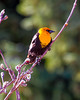 Yellow-headed Blackbird - Adult Male
