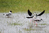 Black-Necked Stilts with Franklin's Gull