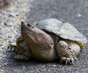 Snapping Turtle<br /> 5-12-13