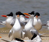 These two strutting Royal Terns are the same shown in the next photo.