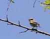 Golden-winged Warbler<br /> Highland County, VA