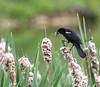 Red-winged Blackbird<br /> Mint Springs Valley Park, Crozet, VA