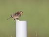 Grasshopper Sparrow, Rockingham County, VA