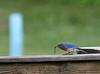 Eastern Bluebird with worm<br /> Mint Springs Valley Park, Crozet, VA