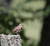 Vesper Sparrow<br /> Highland County, VA