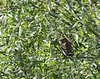 Alder Flycatcher<br /> Highland County, VA